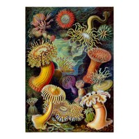 Actiniae by Ernst Haeckel Posters