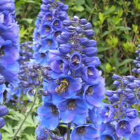 27500 Seeds 100 grams Larkspur Delphinium Consolida Forking Knight's-Spur Blue B2053(1)