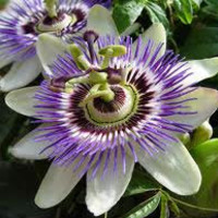 Beautiful Passion Flower, Tropical Flower, Seeds, Blue, White and Purple Colors, 10 Seeds