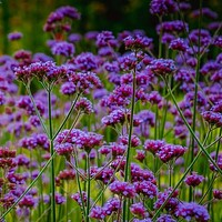 Purpletop Vervain Flower Seeds (Verbena Bonariensis) 200+Seeds