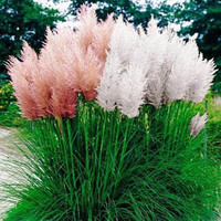 Pampas Grass Mix Flower Seeds/Cortaderia selloana/Perennial   100+
