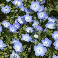 Heirloom Nemophila Menziesii Baby Blue Eyes Flowers, 50 Seeds