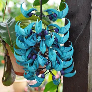 5 Blue Jade Vine Strongylodon Macrobotrys Jasper Flower Seeds Rare Endangered Fragrant Perennial Heirloom Climbing Plants Gardening Home