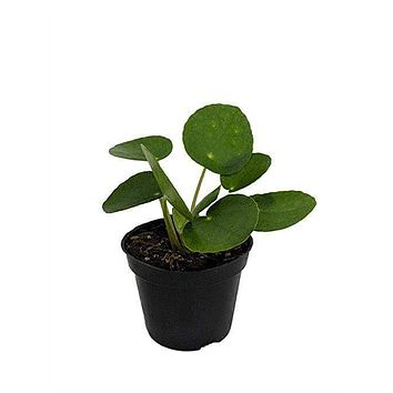 """4"""" Pilea Peperomioides (Chinese Money Plant)"""
