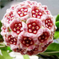 100 Hoya Carnosa Ball Flower Seeds | Potted Garden Heirloom Plants Perennial Growing Indoor Outdoor Decor