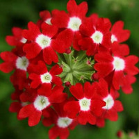 Heirloom 200 Seeds Veined Verbana Verbena Vervain Moujean tea Purpletop Red Flower Seeds B3139