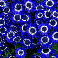 200 White Blue Daisy Flower Seeds Plants Exotic Rare Ornamental Home Garden Decor DIY Plant Growing Penerials