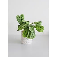 LIVE Prayer Plant Indoor House Plant - Ships Alone