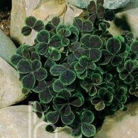 "Midnight Shamrock Clover Perennial -Trifolium - Indoors or Out - 4"" Pot"