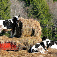 Cow Country Buffet