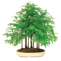 Brussel's Bonsai: Dawn Redwood Grove 7 Trees, at 12% off!
