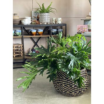 """8"""" Philodendron Lickety Split"""