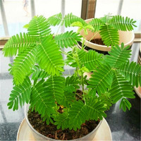 20 Shy Sensitive Plant Seeds Sleeping Bashfulgrass  | Mimosa Pudica Plants Instantly Dancing, Sensors Quickly, Moving After Touch Grass