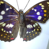 Framed Butterfly - mounted butterfly -  Sasakia Charonda - insect display - real butterfly - shadow box - taxidermy - entomology
