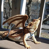 Bearded Dragon Wings w/ leash (pick your colors! made to order on backorder)