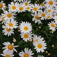 Heirloom 400 Seeds Roman German Chamomile Chamaemelum Garden Apple Anthemis nobilis Flower B0031