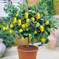 Bonsai Lemon Tree Seeds High survival Rate Fruit Tree Seeds For Home Gatden Backyard (50Pieces) Free Shipping