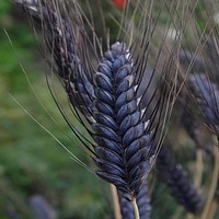 Wheat Black Knight Ornamental Grass Seeds (Triticum Aestivum) 20+Seeds
