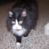 Meet Zoey, a Petfinder adoptable Domestic Long Hair-black and white Cat | Jackson, MI