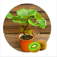 200pcs Kiwi fruit seeds Thailand Mini Kiwi Fruit Seeds flower bonsai tree seeds sweet food Non-GMO plants for home garden