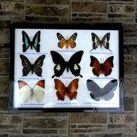 """Real Butterfly Nine Butterflies Framed Display Rare Insect Taxidermy frame 13.75"""" x 9.75"""""""