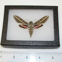 REAL FRAMED NORTH AMERICAN PINK WHITE LINED SPHINX MOTH BUTTERFLY INSECT