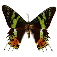 Real framed butterfly Display Rare Insect Taxidermy Real Urania ripheus  Butterfly Display