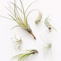 LIVE Unique Air Plants - Pack of 6 - Ships Alone