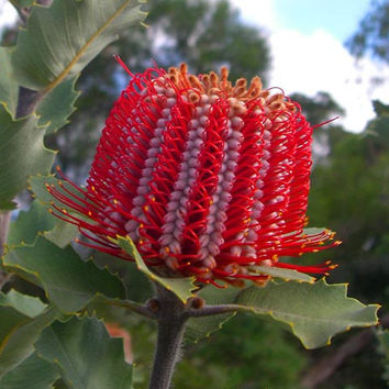 10 Banksia Coccinea Seeds | Scarlet Banksia | Unusual Rare Exotic Weird Flower | Potted Balcony Home Garden Plant Heirloom