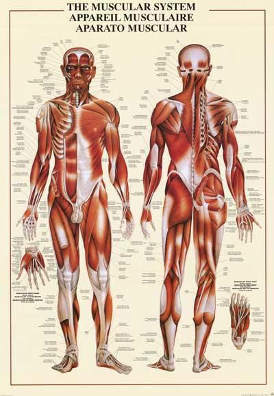 Image of Muscular System Anatomy Poster 26x38