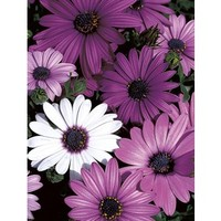 Shop 1.25-Quart African Daisy (L11796) at Lowe's
