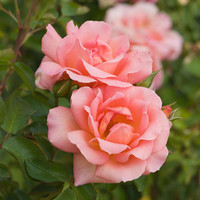 Baby Rose Fragrance Oil | Bramble Berry® Soap Making Supplies
