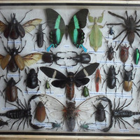 REAL Multiple INSECTS BEETLES Spider Cicada Butterfly Collection in wooden box/big size/is07n