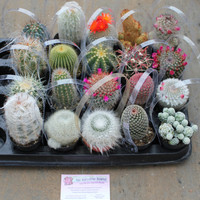 "10 Awesome Cactus For Sale in their 2.5"" round  containers All are labled with names succulents succulent"