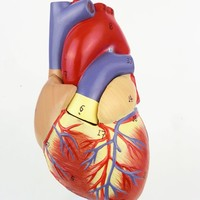 1:1 Human Anatomical Heart Anatomy Viscera Medical Organ Model Emulational + Stand Medical Science Teaching Resources