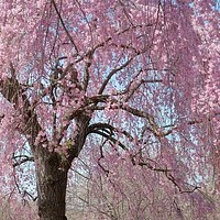 Higan Flowering Cherry Tree Seeds (Prunus subhirtella) 10+Seeds