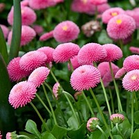 English Daisy Rose Flower Seeds (Bellis Perennis) 200+Seeds