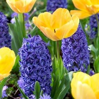 Tulip Daydream (20 Dormant Bulbs) and Hyacinth Blue Jacket (6 Dormant Bulbs) (26-Pack Total), 70113 at The Home Depot - Mobile