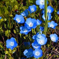Baby Blue Eyes Flower Seeds (Nemophila Menziesii) 50+Seeds Zones 3-9