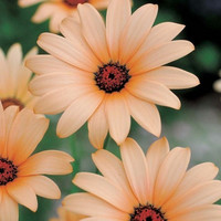 African Daisy Salmon Flower Seeds (Dimorphotheca Sinuata Salmon) 50+Seeds Zones:3-10