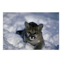 Cougar-small cub on snow