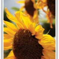 iPHONE 5 Case Sunflower Photography Cell Phone Case Ready to SHIP TODAY