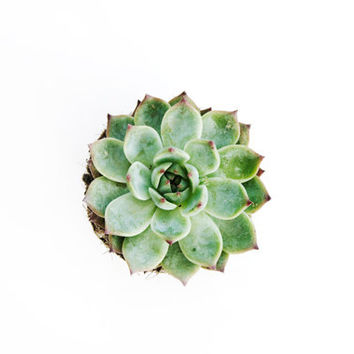 Succulent Star. 8x10. Fine Art Photographic Natural History Print. Minimal simple style. Natural Home Decor. Indoor garden botanical