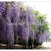 40pcs/bag hot selling Purple Wisteria Flower Seeds for DIY home garden Free Shipping 49%