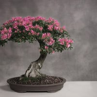 Cherry Blossom Bonsai 4 Seeds. Beautiful long lasting blossoms fantastic for various crafts! Will grow into a full grown cherry Tree