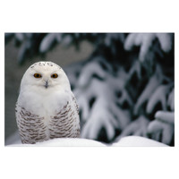Snowy Owl camouflaged against snow, North America > National Geographic Art Store