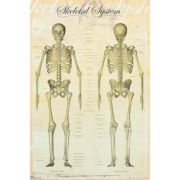 Skeletal System Human Anatomy Poster 24x36