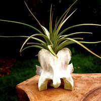 Epiphyte in Bone Planter : Air Plant                             Included