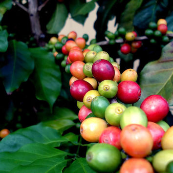30 Special Arabica Coffee Seeds Strong Flavor True Beans High Germination Rate House Plants Decor Gardening DIY