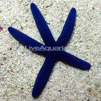 Saltwater Aquarium Starfish for Marine Reef Aquariums: Linckia Sea Star, Blue